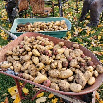 Les semeurs d'Espoir - Récolte de patates
